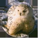 Cadbury Birds of Prey Flip-em's 06-Snowy-Owl.
