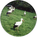 Groot-Ammers > Colour 30-Storks.
