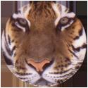 Spicy Caps Siberische-tijger-・-Tigre-de-Sibérie.