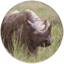 Spicy Caps Zwarte-neushoorn-・-Rhinocéros-noir.