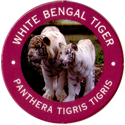World POG Federation (WPF) > Exxon 02-White-Bengal-Tiger---Panthera-tigris-tigris.