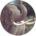 World POG Federation (WPF) > Holiday Inn Wild Collection 01-The-Asian-Elephant-(front).